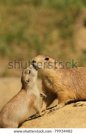 Baby prairie dog getting a kiss from its baby - stock photo