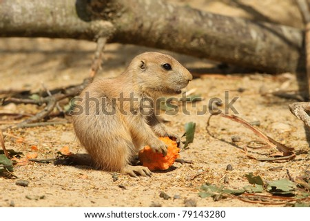 Baby prairie dog holding a carrot - stock photo
