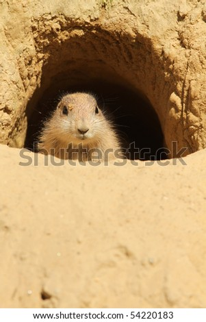 Baby prairie-dog looking out of its burrow - stock photo
