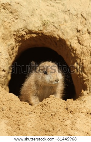Baby prairie dog looking out of its burrow - stock photo