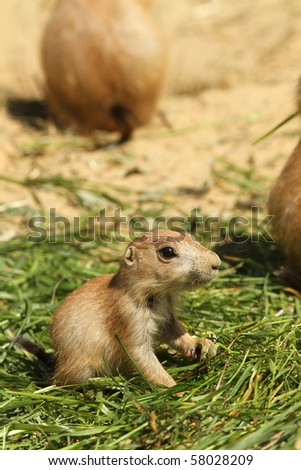 Baby prairie dog sitting in the grass - stock photo