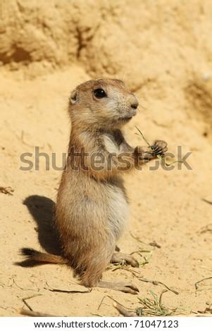Baby prairie dog standing upright - stock photo