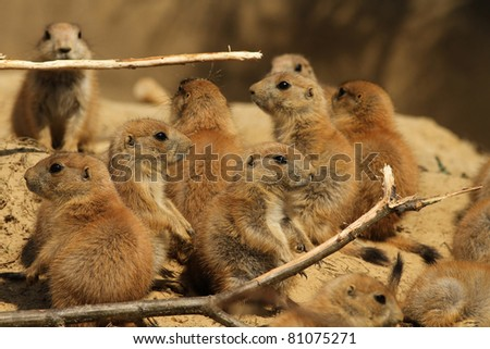 Baby prairie dogs - stock photo