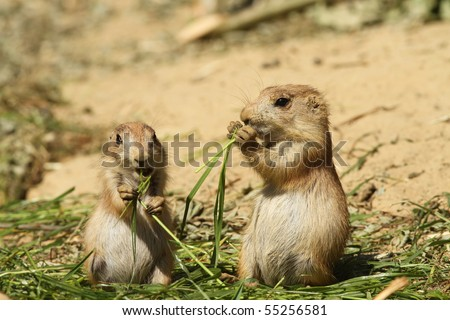 Baby prairie dogs eating