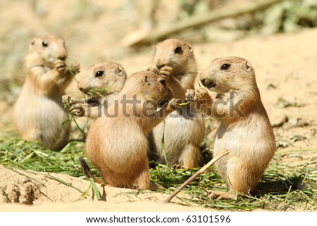 Baby prairie dogs eating - stock photo