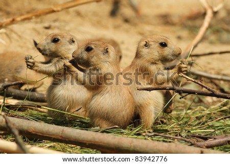 Baby prairie dogs eating - stock photo