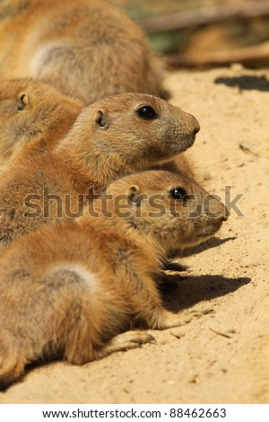 Baby prairie dogs (focus on the one above) - stock photo