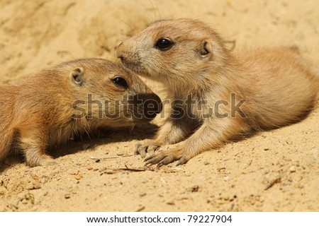 Baby prairie dogs laying in the sand (focus on the right one) - stock photo