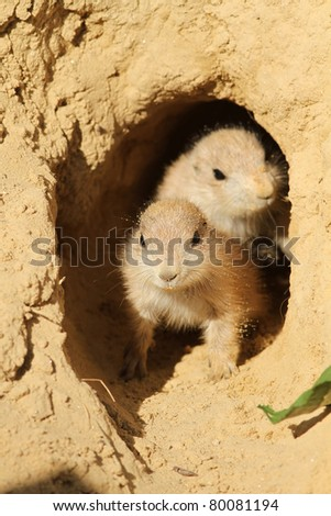 Baby prairie dogs looking out of their burrow - stock photo