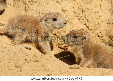 Baby prairie dogs meeting outside of their burrow - stock photo