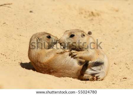 Baby prairie dogs playing in the sand - stock photo