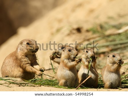 Baby prairie dogs with in the background their mother - stock photo