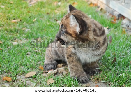 Baby Puma and kitten are very similar. But baby puma is a point along body and will fade as it grow up. - stock photo