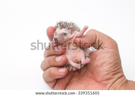 baby pygmy hedgehog on human hand - stock photo
