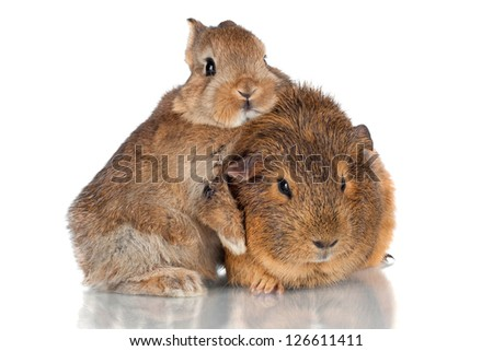 baby rabbit and guinea pig together - stock photo