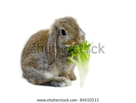 Baby Rabbit chewing a lettuce leaf. - stock photo
