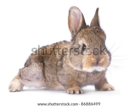 Baby rabbit farm animal closeup on white background - stock photo