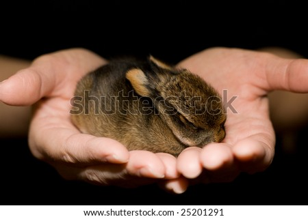 baby rabbit, only one week old, sits in human hands - stock photo