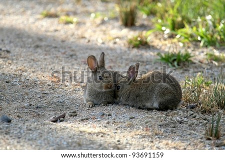 Baby Rabbits in Braeside Park, Melbourne, Australia - stock photo