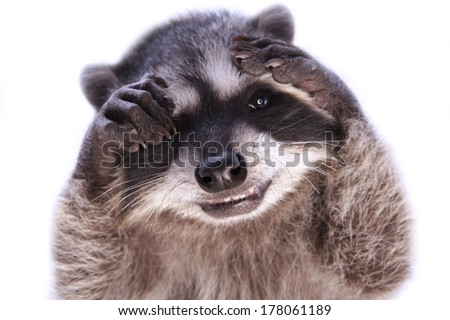 Baby raccoon grinning hiding face with paws playing peek a boo isolated
