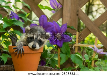 Baby Raccoon Playing in the Garden - stock photo