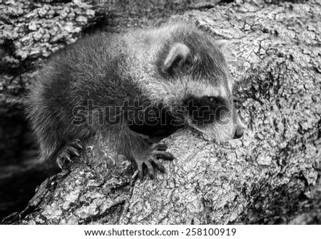 Baby Raccoon (Procyon lotor) Hangs On - captive animal (black and white) - stock photo