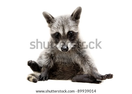 baby raccoon - Procyon lotor in front of a white background - stock photo