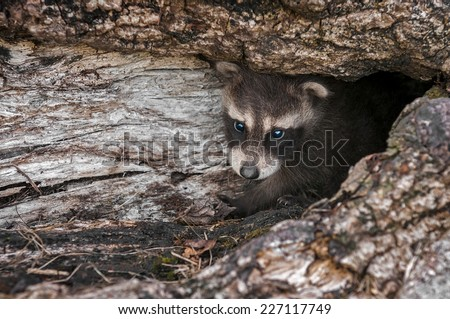 Baby Raccoon (Procyon lotor) Peers Out from Inside Log - captive animal
