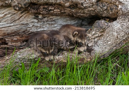 Baby Raccoons (Procyon lotor) Line Up - captive animals - stock photo