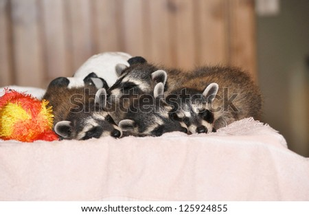 Baby Raccoons Taking a Nap - stock photo