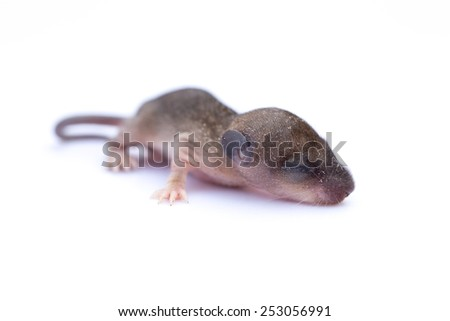 Baby rat isolated on white background