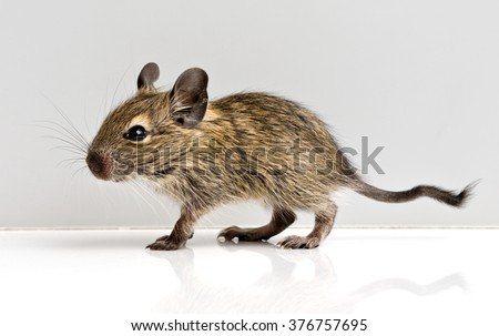 baby rat profile full-sized closeup view on neutral background - stock photo