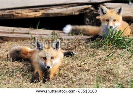 Baby red fox kits outside of their den - stock photo