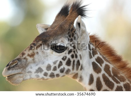 baby reticulated giraffe close up full frame head, namibia, africa - stock photo