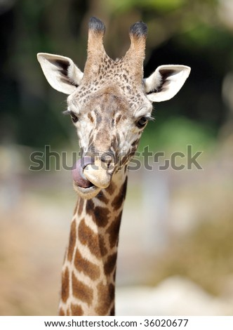 baby reticulated giraffe licking nose with long tongue - stock photo