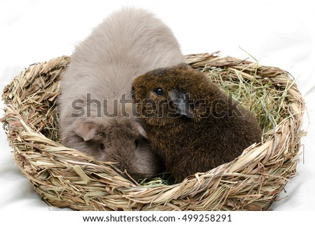 baby rex guinea pig plays with adult curly, hay basket