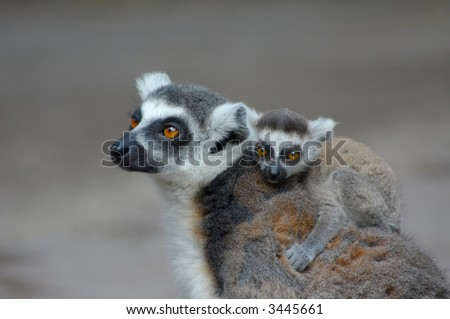 baby ring-tailed lemur on mothers back - stock photo