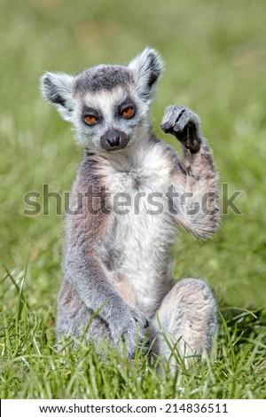 Baby Ring-Tailed Lemur sat in long green grass/Baby Ring-Tailed Lemur/Baby Ring-Tailed Lemur (lemur catta) - stock photo