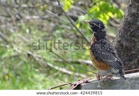 Baby Robin Bird First Day Wildlife Portrait - Small baby robin leaves his bird nest for the first time, sitting on a fence in spring. American robin wildlife stock photo, ontario,canada. - stock photo