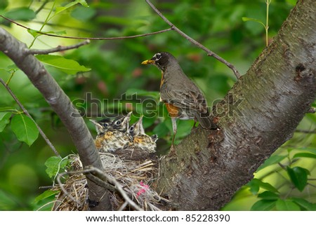 Baby Robins and Parent at nest - stock photo