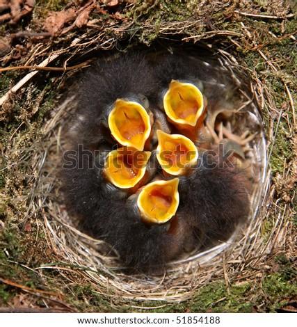 baby robins in birds nest - stock photo