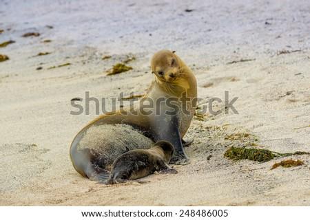 baby sea lion and mother in san cristobal galapagos islands ecuador - stock photo