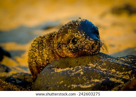 baby sea lion at sunset in galapagos islands ecuador - stock photo