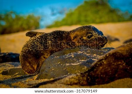 baby sea lion at sunset in galapagos islands ecuador - stock photo