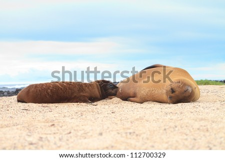 Baby Sea Lion breast feeding with mother, beach in Galapagos Islands in Ecuador, south america - stock photo