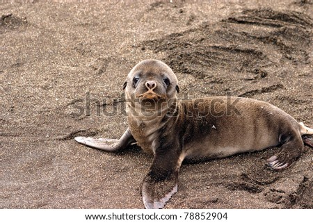Baby sea lion in the Galapagos Islands - stock photo