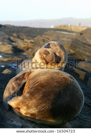 Baby Sea Lion resting on the beach - stock photo