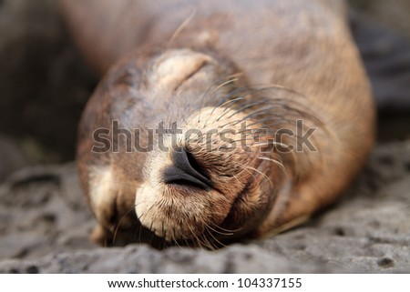 Baby sea lion sleeping in the Galapagos Islands - stock photo