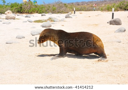 Baby sea lion walking Galapagos Islands - stock photo