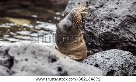 baby sea lions in san cristobal galapagos islands ecuador - stock photo